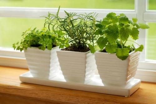 Cách trồng húng chanh trị ho hiệu quả cho bé