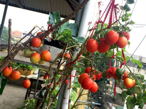 Chồng ngộ độc vì ăn rau sạch siêu thị, 8X xinh đẹp quyết tâm tự trồng rau sạch tại nhà