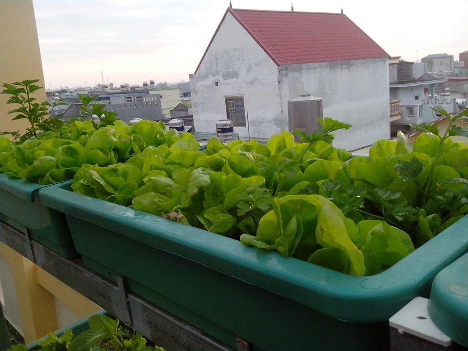 Ông bố trẻ trồng trăm thùng rau sạch cho vợ, cho con