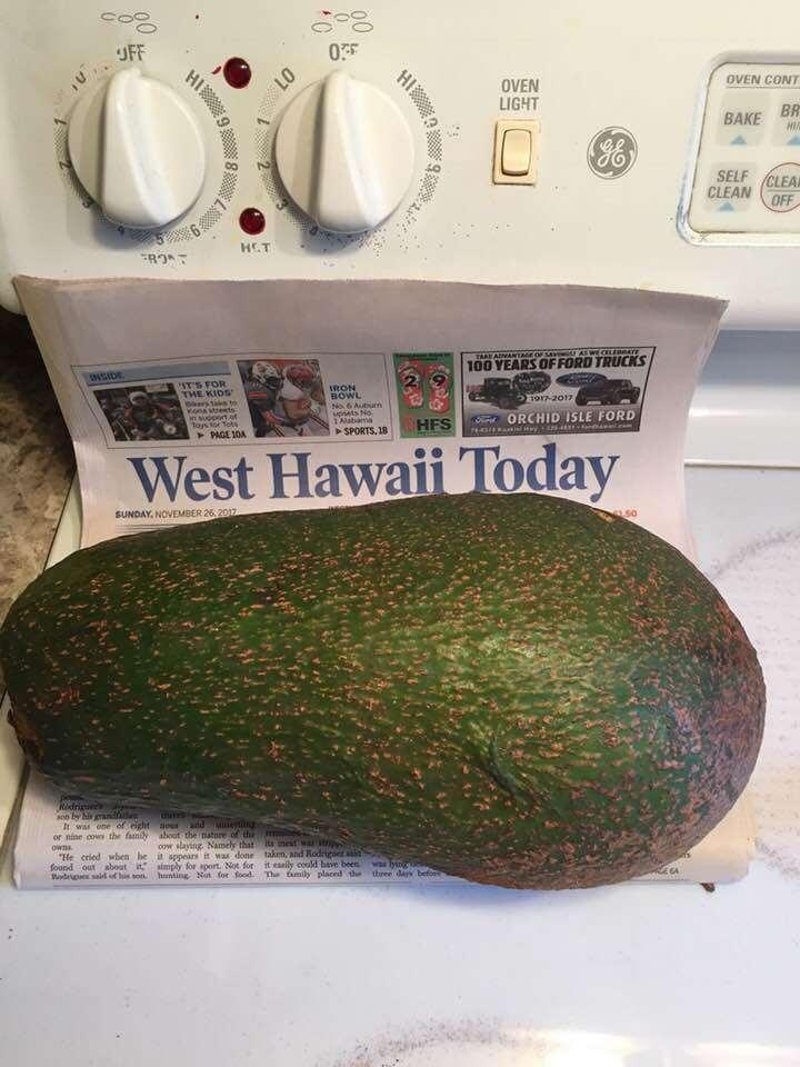 """Cây bơ cho quả """"khổng lồ"""" nặng 2,4 kg, phá kỷ lục thế giới"""