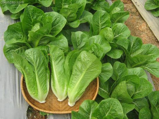 bước trồng rau sạch tại nhà đơn giản an toàn không lo hóa chất