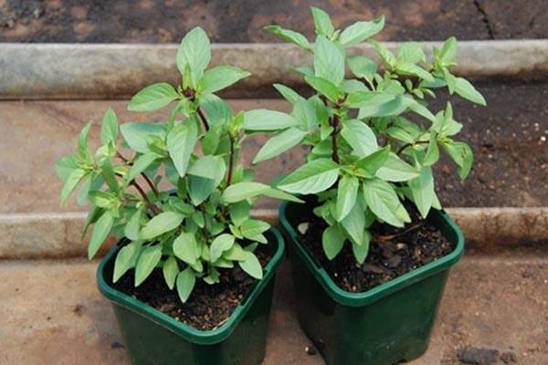 Bổ sung thêm dinh dưỡng để cây phát triển khỏe mạnh hơn