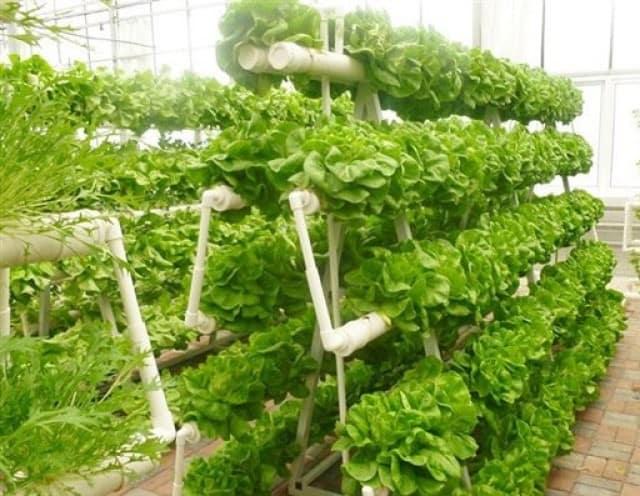 Có thể trồng nhiều loại rau thủy canh trên cùng một giàn