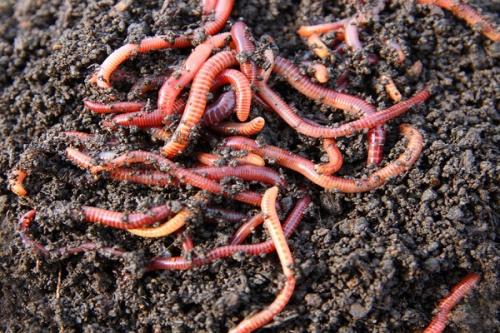 Cải tạo đất hiệu quả hơn với phân trùn quế