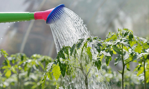 Điều chỉnh lượng nước tưới cho phù hợp thời tiết