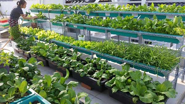 Mô hình trồng rau trên sân thượng nhà phố