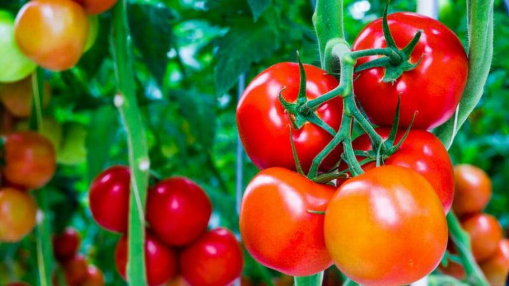 Trồng cà chua tại nhà đơn giản