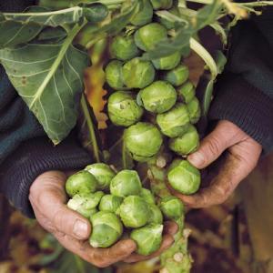 Hướng dẫn trồng bắp cải tí hon giàu dinh dưỡng cho các bà nội trợ