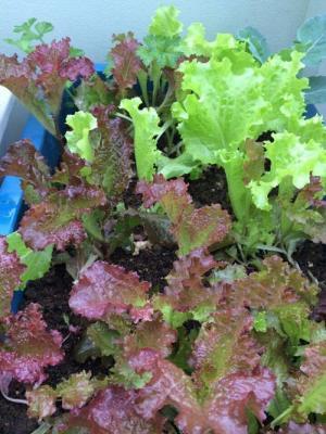 Cách trồng rau trong chậu ăn cả năm chả hết của Ông bố Hải Dương