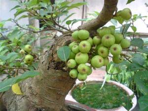 Bí quyết trồng và chăm sóc sung cảnh ra quả dịp Tết cực dễ