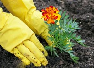 Nhất định phải trồng hoa cúc vạn thọ vì những lý do này