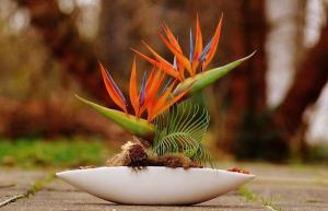 Chất độc nguy hiểm chứa trong hoa thiên điểu mà mọi người hay mua về cắm