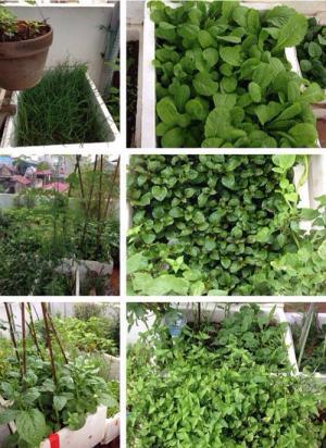 Học trồng rau thùng xốp kiểu lười của mẹ Khoai Xoài