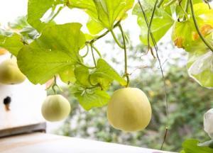 Kinh nghiệm 4 năm trồng rau sạch trong thùng xốp của đôi vợ chồng trẻ