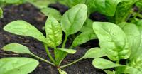 Cách trồng cải bó xôi đơn giản, hiệu quả
