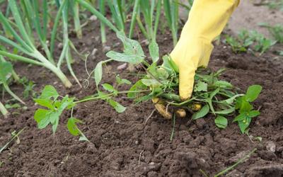 Cỏ dại và cách kiểm soát hiệu quả cho khu vườn